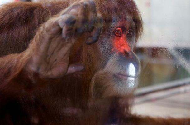 豪動物園がオランウータンの対話学習研究にKinectを採用―将来は来場者とのゲームプレイも